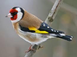 Ti Menez Are oiseaux visiteurs de nos haies